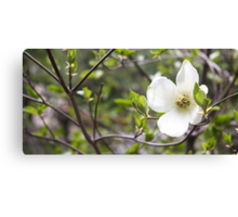 Dogwood Tree Flower, Yosemite National Park Canvas Print