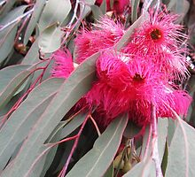 Pink Gum Blossom by margaret walsh