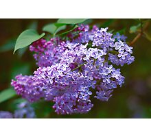 Lilac macro Photographic Print