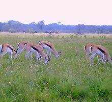 Springbok by Irene  van Vuuren