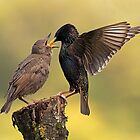 Starlings by Photo Scotland