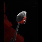Poppy on black by robevans