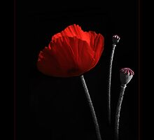 Poppy and seed pods by robevans