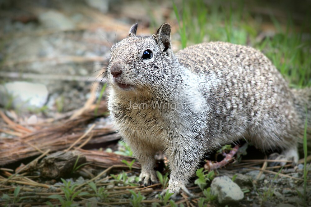 California Ground Squirrel by Jem Wright