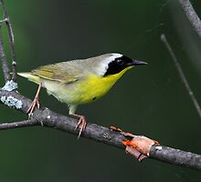 On The Hunt / Common Yellowthroat by Gary Fairhead