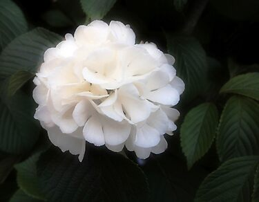 Soft White Viburnum by Linda  Makiej