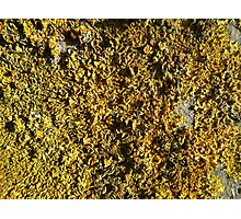 Yellow lichen field Photographic Print