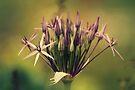 Allium  by Joshua Greiner