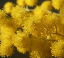 Acacia podalyriifolia - Golden Ball Wattle by Floralynne