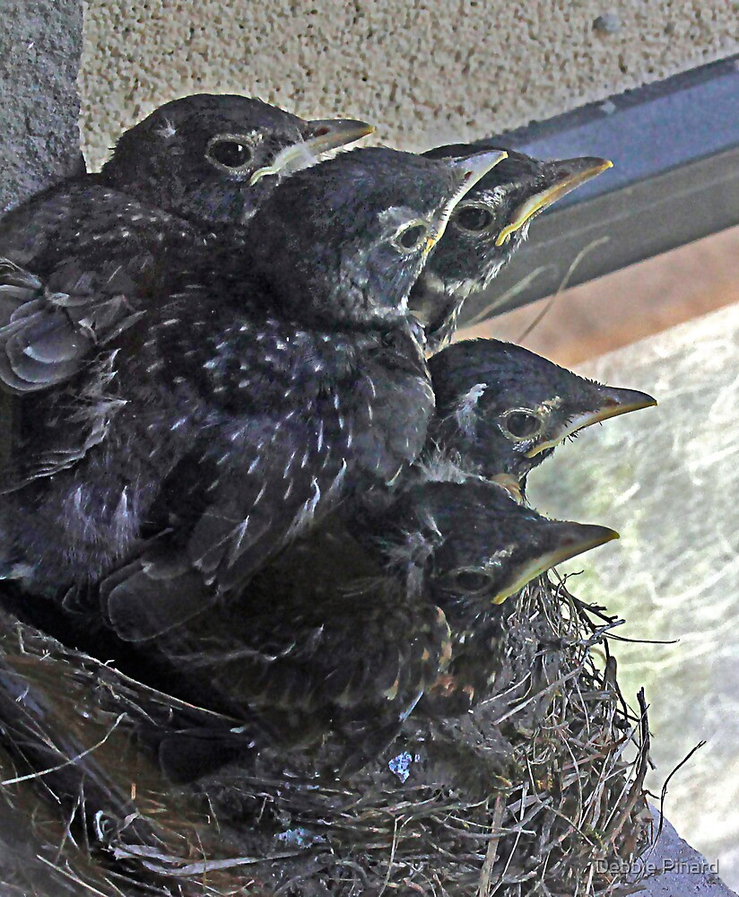 Baby Robins 10 - Ready to fly! by Debbie Pinard