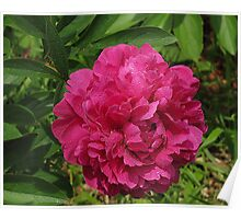 Peony Personified Poster