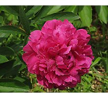 Peony Personified Photographic Print