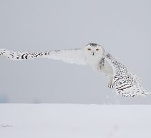 Winter Flight (Snowy Owl) by Michaela Sagatova