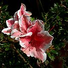 Azalea - small species of Rhododendron. by Roy  Massicks