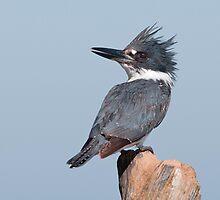 Belted Kingfisher by (Tallow) Dave  Van de Laar