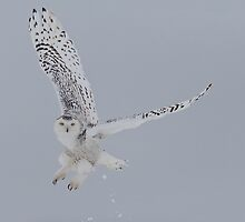Snowy Owl in flight by Michaela Sagatova
