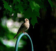 House Finch - Female by Marcia Rubin