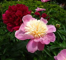 Pick a perfect peony! by MarianBendeth