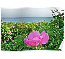 Beach Plum Blossom at Matunuck Beach - Rhode Island Poster