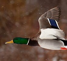Flying In Flurries by Jeff Weymier