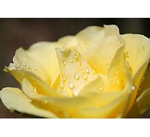 Yellow Rose with Dew Drops Photographic Print