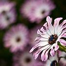 Daisy field by Celeste Mookherjee