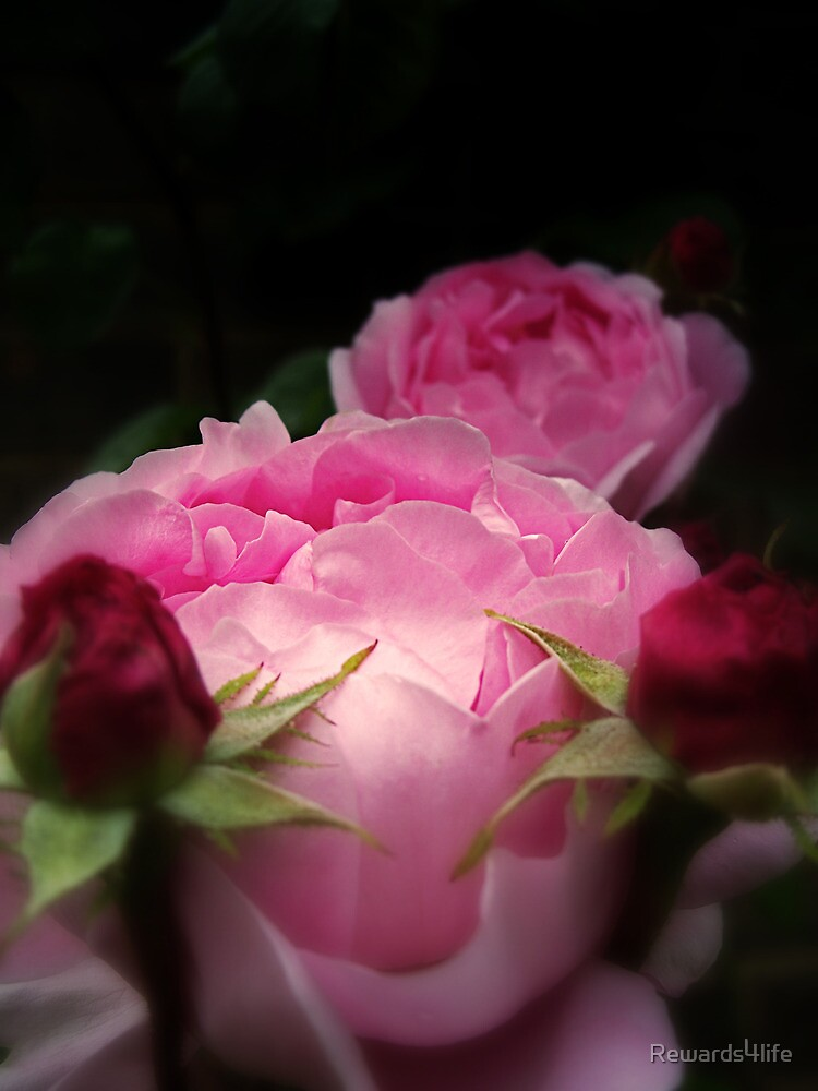 English Roses In Pink by Rewards4life