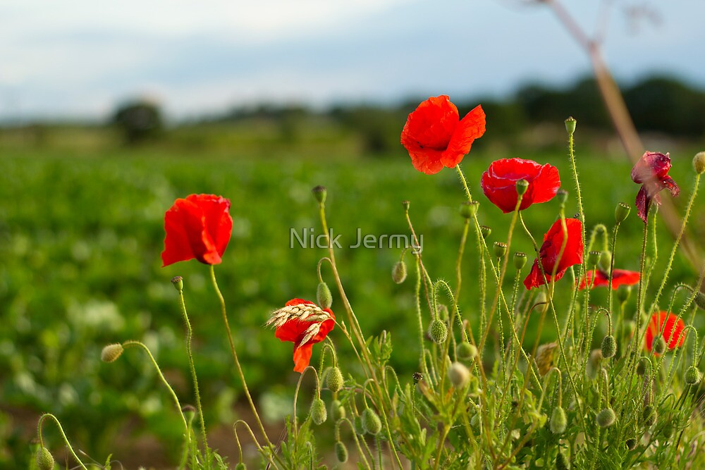Thurton Poppies by Nick Jermy