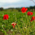 Thurton Poppies by Nicholas Jermy