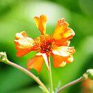 Orange flower by CjbPhotography