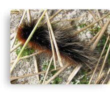 Huge, Hairy, Hebridean Caterpillar - Woolly Bear Canvas Print