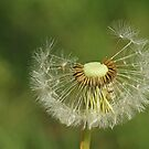Dandylion by Robert Abraham