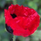 Ladybug Poppy by ElsT