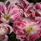 Rose Carefree Wonder by Gabrielle  Lees