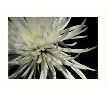 Fader - White Chrysanthemum Art Print