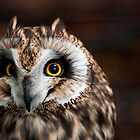 Short-eared Owl by Sam Scholes