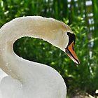 Mute Swan  by Elaine  Manley