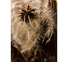 Clematis Seeds Photographic Print