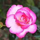 pink rose by SusieG