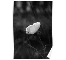 Solitary White Rose Poster