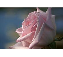 Rose in prayer Photographic Print