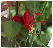 Scarlet Rose Hips Poster