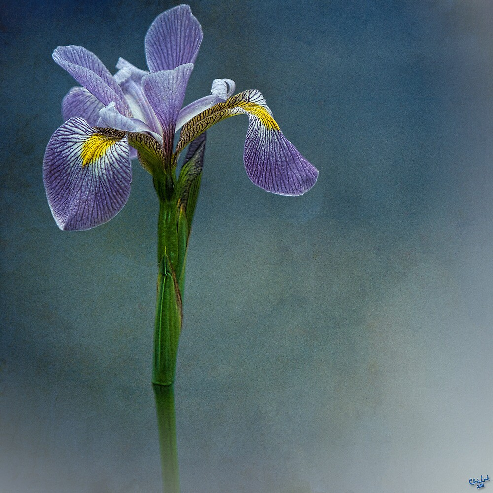 Harlem Meer Iris by Chris Lord
