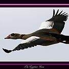 The Egyptian Goose by snapdecisions