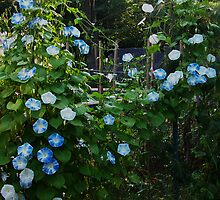 Morning Glory Garden by MaryinMaine