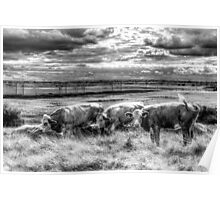 Resting Cows Poster