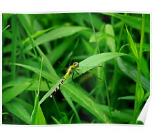 Gorgeous Green Dragonfly  Poster