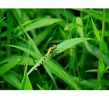 Gorgeous Green Dragonfly  Photographic Print