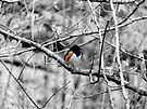 Towhee in a Tree  by Marcia Rubin