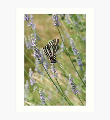 Lavender Zebra 1 Art Print